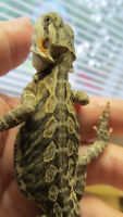 WOW 5 Baby Bearded Dragons Leather Back
