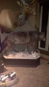 Large Full mount black Wolff , taxidermy