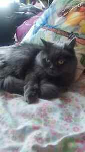 adorable small female persian cat for sale