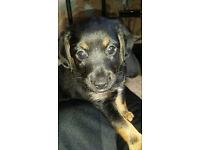 Multi Cross Breed Puppy. Female. born 14/02/17. Chipped, flead & wormed