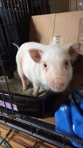 Litter trained micro pot belly pig.