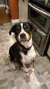 Female Rottweiler/greater Swiss mountain dog mix