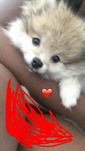 PRICE CHANGE OBO Sweet Toy Pomeranian!! Needs a New Home!!