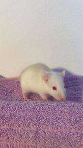 Bébés rats à vendre