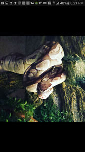 Full set up,snake,enclosure,frozen rats,substrate,decor,and the