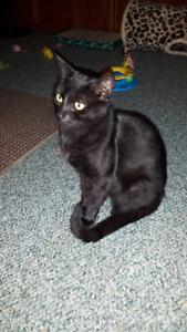 Lost Black female indoor cat