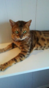 male bengal pure race