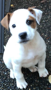 Rescue .. Jack Russell x Boxer Puppies .. Smart