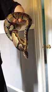 Het pied ball python and supplies