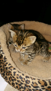 Chatons Bengale Brown