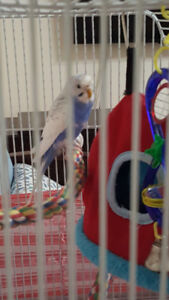 budgie birds with cadge and Assorted Bird accessories