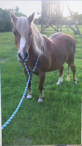 Welsh/ Quarter horse gelding