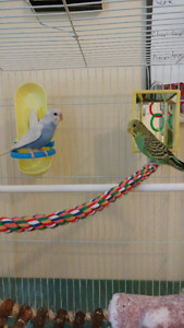 2 Free Budgies -Bonded Pair -Cages 30$each