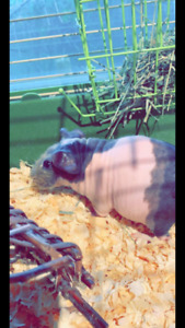 Skinny Pig in need of good home!