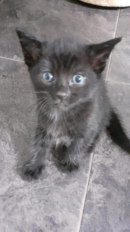 2 Bengal Kittens For Sale In Arnold Nottinghamshire Gumtree