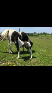 2 Miniature Horse Colts for Sale