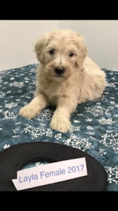 Goldendoodles. F2b. & F1b. Non shed hypo allergenic