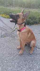 8 month puppy looking for a serious buyer and new home Kitchener / Waterloo Kitchener Area image 7