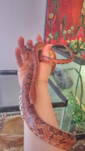 URGENT-Corn snake/serpent de blé a vendre avec grand terrarium