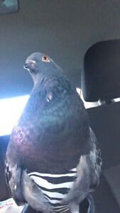 Pigeon to rehome