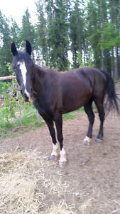 Registered TWH 2012 black gelding