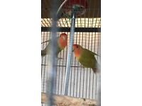 Love birds for sale ( Price Reduce Now )