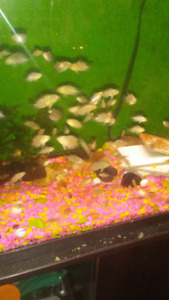 Red Ear Sliders Turtles &  Dempsey Convict Cichlids