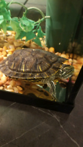 Turtle with turtle tank