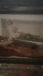 Python  for sale 3yrs old