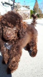 Toy poodle puppy for sale. Dobby, 4 months. $1500