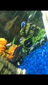 3 cichlids about 3 in need gone ASAP