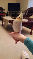 6 month old male Cockatiel with Cage and toys!!