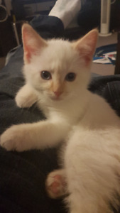 Flame Point Siamese 10 wks old $200