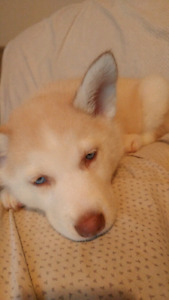 Purebred Papered Female Siberian Husky Puppy