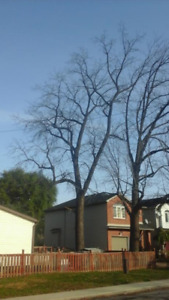 Free for your take- Large Black Walnut Tree