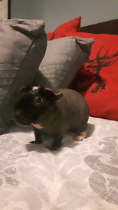 Skinny Pig with large cadge