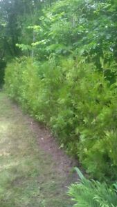 CEDAR TREES FOR HEDGES FOR SALE / CEDRES POUR HAIE A VENDRE