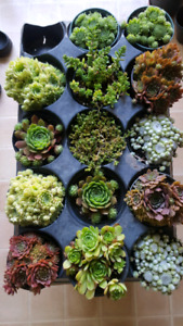 Hens and chicks cacti cactus rare and unusual succulents