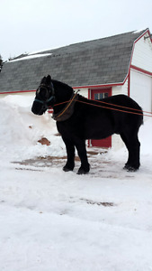 Black Percheron Horse