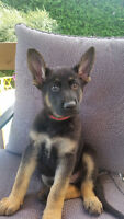 Chiots Berger Allemand Pure Race enr CCC German Shepherd CKC