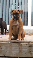 New Price!!!!!   Boxer/Old English Bulldog