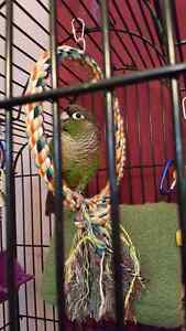 Green Cheek and a Turquoise conure