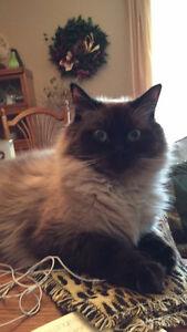MISSING: 2yr old Himalayan cat (Willis) - PTBO REWARD OFFERED Peterborough Peterborough Area image 6
