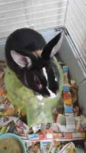Free male dwarf bunny with cage