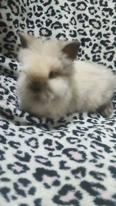Looking for a Sweet & Soft Small  Bunny to Add to Your Family? Oakville / Halton Region Toronto (GTA) image 1