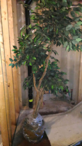 Ficus Tree in Planter 8ft tall