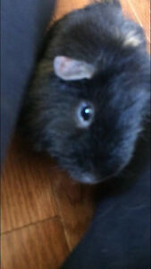 2 year old male guinea pig