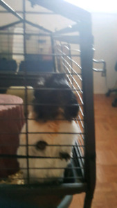 2 free guinea pigs with cage