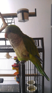 Quaker parrot for sale