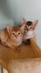 Magnifique chatons abyssin / Kittens Abyssinian